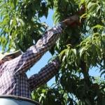 cosechando-fruta-1
