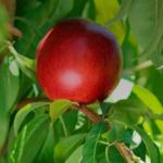 img-nectarines-blancos