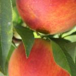 tunichefruits-duraznosamarillos-3