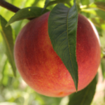 tunichefruits-duraznosamarillos-4