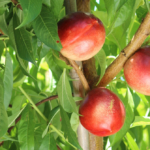 tunichefruits-nectarinesamarillos-1