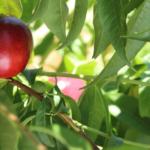 tunichefruits-nectarinesblancos-4