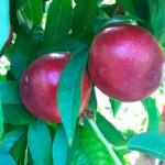 tunichefruits-nectarinesblancos-5