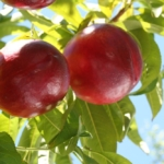 fruta-chilena